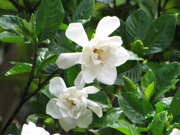 come coltivare gardenia