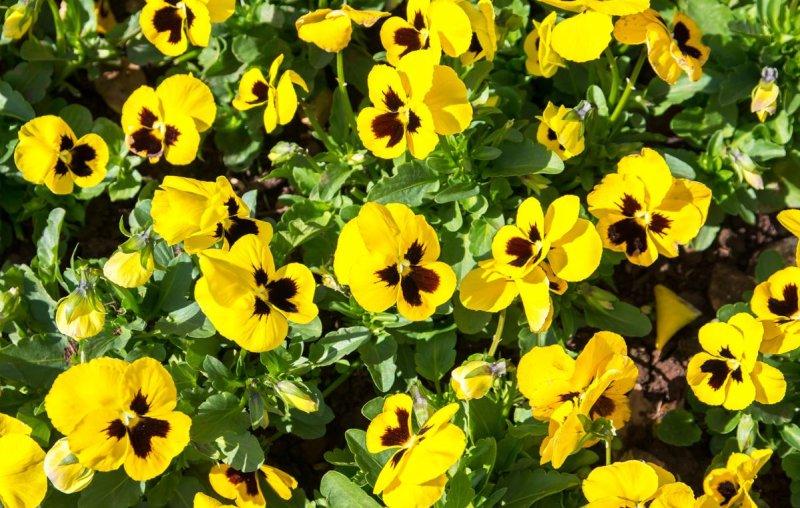 panse-fiori-gialli-consigli-crescita